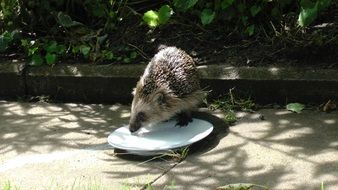 hedgehog drinks from a plate