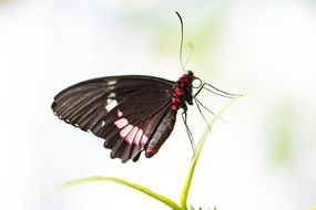 beatuful black butterfly insect