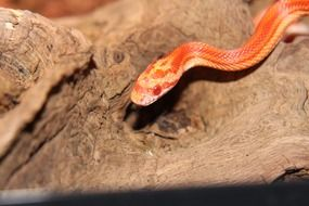 non toxic orange corn snake