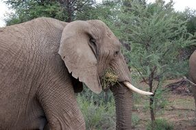 wild elephant in Namibia