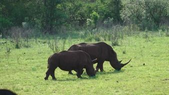 rhino couple in the hluhluwe park