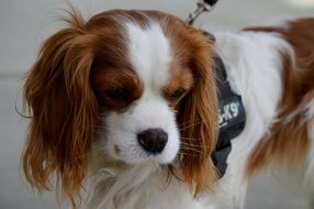 Cavalier King Charles Spaniel sadly looking down