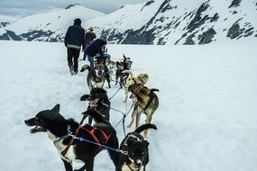 team of sled dogs