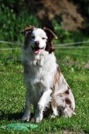 photo portrait of a white-brown border collie