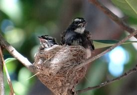 fledglings of a white-throated fantail