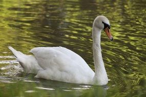 White graceful swan