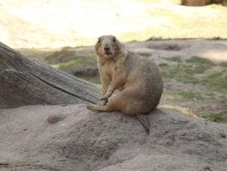 prairie dog on a pile of sand