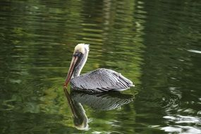 Pelican Bird swims in a pond