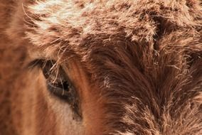 eye of brown donkey close-up