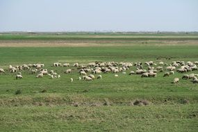 flock of sheep on a green pasture
