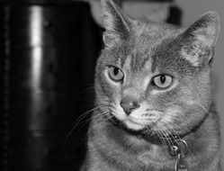 black and white portrait of a domestic cat with bright eyes