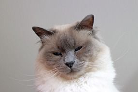 portrait of a birman cat
