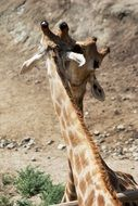 Kiss of the two giraffes