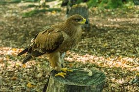 bird of prey on a stump in the forest