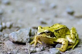 bright green frog on a sandy road