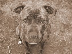 black and white photo staffordshire bull terrier