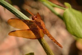 Brown sunshine dragonfly