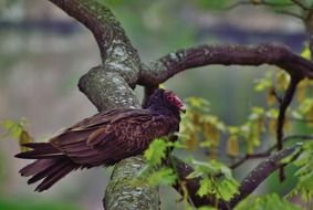 Turkey Vulture is sitting on the tree branch