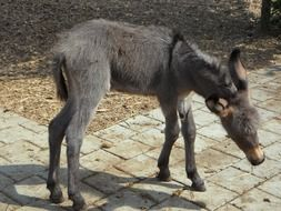 clumsy Donkey Foal stands on pavement
