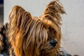 Yorkshire Terrier is a small dog
