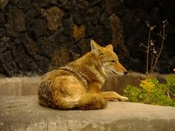 coyote lying on the stone
