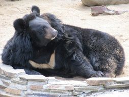 Bear Animals playing in zoo