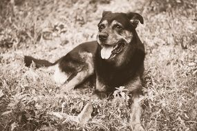 Dog with stick out tongue lays on grass, sepia