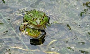 frog in a frog pond