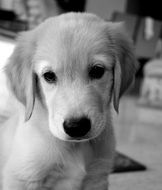 golden retriever puppy in black and white