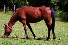 thoroughbred brown horse on a green pasture