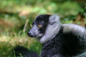 Wild Lemur on a blurred background