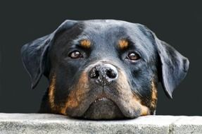 muzzle of rottweiler close up