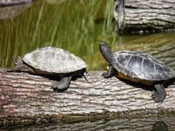 Couple of turtles in the pond