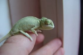 Green Yemen Chameleon on person's hand