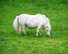 White Pony grazing on lawn