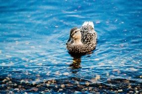 wild duck on clear water