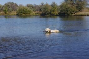 golden retriever swims on the river