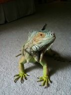 Iguana on a white carpet