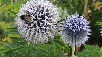 bumblebee on Globe Thistle Flower