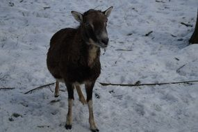 mouflon in the petting zoo