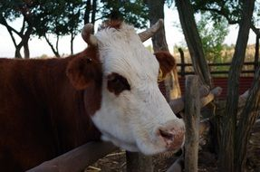 Portrait of Cow on a farm