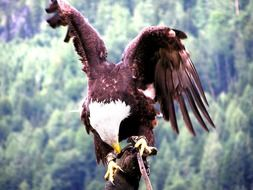 big predatory dangerous eagle