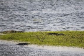 alligators on green grass near the river