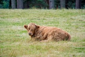Highland-Rinder is lying on the grass in the pasture
