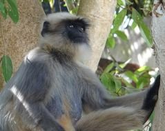 Gray Langur is on a tree