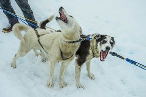 exhausted sled dogs
