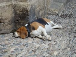 picture of the sleepy dog on a street