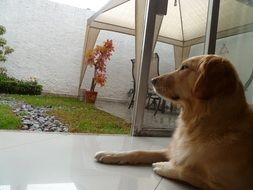 golden retriever lies on the terrace