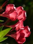 oleander flowers on dark background