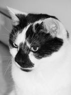 portrait of a cute domestic cat in black and white
